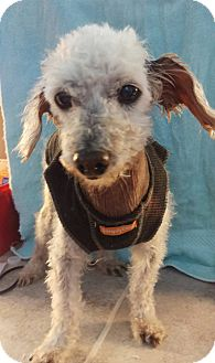 Poodle (Miniature) Mix Dog for adoption in Apache Junction, Arizona - Prince