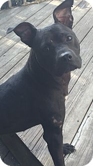Pit Bull Terrier Mix Dog for adoption in Pittsburgh, Pennsylvania - PHOEBE