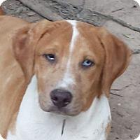 Adopt A Pet :: Tank AD 01-21-17 - Preston, CT