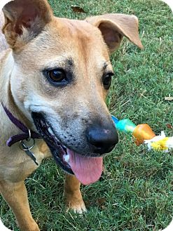 Labrador Retriever/Black Mouth Cur Mix Puppy for adoption in Groton, Massachusetts - Mona