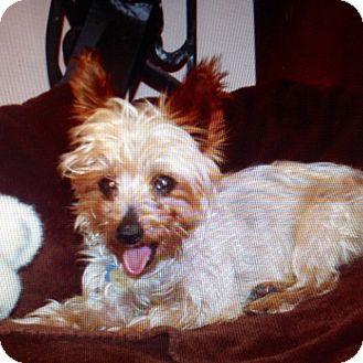 Yorkie, Yorkshire Terrier Dog for adoption in Santa Fe, New Mexico - Ellie