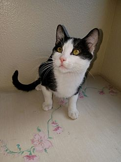 Domestic Mediumhair Kitten for adoption in San Dimas, California - Miles