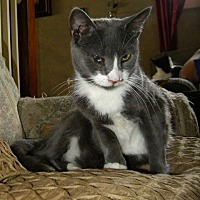 Domestic Shorthair Cat for adoption in Audubon, New Jersey - Jordan