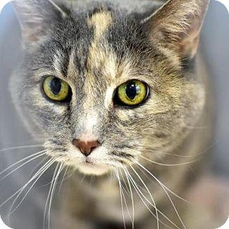 Domestic Shorthair Cat for adoption in Denver, Colorado - Tulsa
