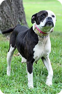 Boston Terrier/Boxer Mix Puppy for adoption in Waldorf, Maryland - Dublin
