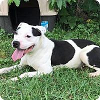 Adopt A Pet :: Bo Peep - Troy, MI