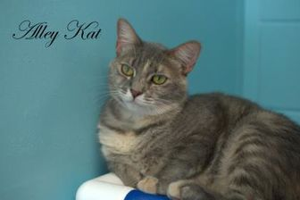 Domestic Shorthair/Domestic Shorthair Mix Cat for adoption in Middleburg, Florida - Alley Kat