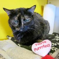 Domestic Shorthair/Domestic Shorthair Mix Cat for adoption in Northbrook, Illinois - Thyme