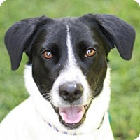 Labrador Retriever/Pointer Mix Dog for adoption in Danbury, Connecticut - Gigi