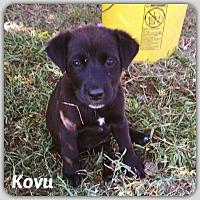 Adopt A Pet :: Kovu - DeForest, WI