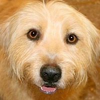Adopt A Pet :: IRELAND(OUR LABRADOODLE! WOW! - Wakefield, RI