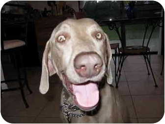Weimaraner Dog for adoption in Eustis, Florida - Logan  **ADOPTED**