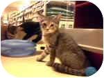 Domestic Shorthair Kitten for adoption in fountain Inn, South Carolina - no names