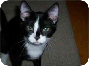Domestic Shorthair Kitten for adoption in Milwaukee, Wisconsin - Tabor