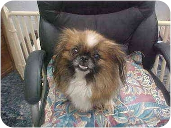Pekingese Dog for adoption in Cathedral City, California - Faith
