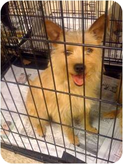 Terrier (Unknown Type, Medium)/Cairn Terrier Mix Dog for adoption in Fowler, California - Holly