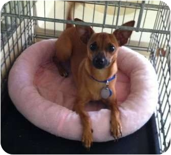 Chihuahua Mix Dog for adoption in Hammonton, New Jersey - Queen
