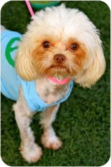 Maltese/Cairn Terrier Mix Dog for adoption in Mission Viejo, California - Peggy Sue