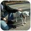 Photo 2 - Jack Russell Terrier Dog for adoption in Milton, Massachusetts - Monkey