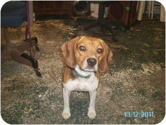 Beagle Mix Dog for adoption in Tipton, Iowa - Dolly
