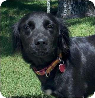 Labrador Retriever/Border Collie Mix Dog for adoption in Kingwood, Texas - Belle