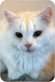 Domestic Longhair Cat for adoption in Marion, Wisconsin - Angelina-Sponsor Me