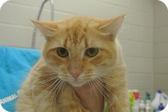 Domestic Longhair Cat for adoption in white settlment, Texas - Cledance