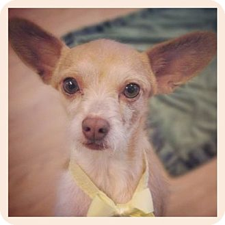 Chihuahua/Cairn Terrier Mix Dog for adoption in High Point, North Carolina - Gibson