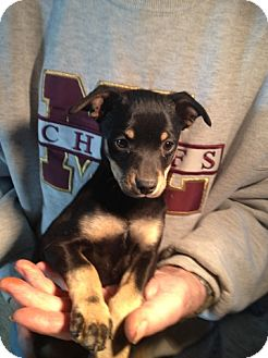 Dachshund/Miniature Pinscher Mix Puppy for adoption in Seattle, Washington - Brandi