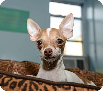 Chihuahua Puppy for adoption in New York, New York - Sammy