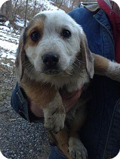 Corgi/Blue Heeler Mix Puppy for adoption in Mt Sterling, Kentucky - Thor - Adoption Pending