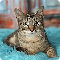 Adopt A Pet :: Trinket - Eagan, MN