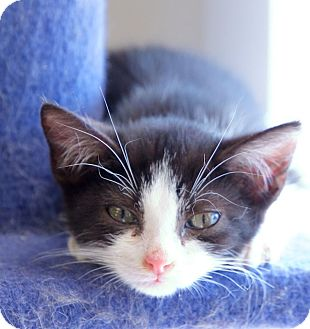 Domestic Shorthair Kitten for adoption in Chattanooga, Tennessee - Mini Cooper