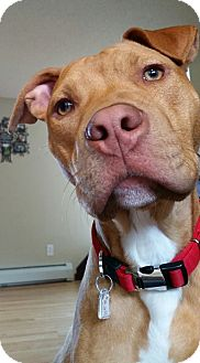 Terrier (Unknown Type, Medium)/Pit Bull Terrier Mix Dog for adoption in Colebrook, Connecticut - Remington