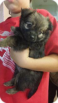 Yorkie, Yorkshire Terrier/Maltese Mix Puppy for adoption in Rancho Cucamonga, California - Zorro