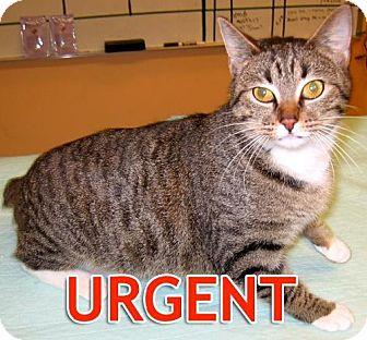 Domestic Shorthair Cat for adoption in Oakland, California - Samantha-URGENT