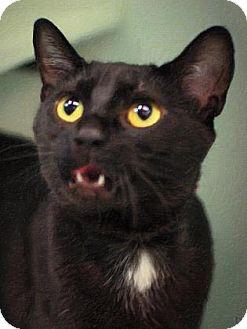 Domestic Shorthair Cat for adoption in Parma, Ohio - Akela