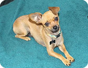 Chihuahua Dog for adoption in Los Angeles, California - Chloe- Watch my Video!