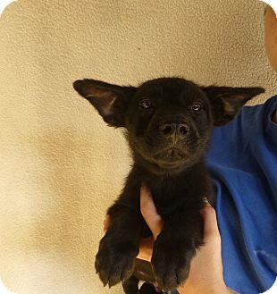 Corgi/Beagle Mix Puppy for adoption in Oviedo, Florida - Simon