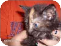 Domestic Shorthair Kitten for adoption in Wauseon, Ohio - Diane