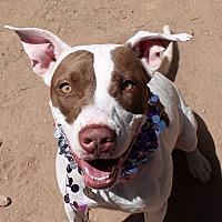 Adopt A Pet :: PENNY - Chandler, AZ