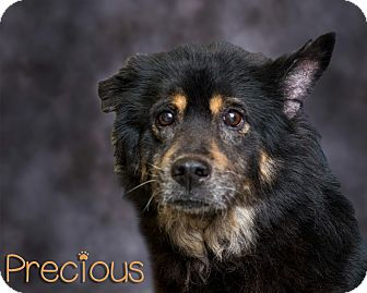 Chow Chow Mix Dog for adoption in Somerset, Pennsylvania - Precious