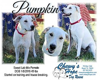 Labrador Retriever/American Bulldog Mix Dog for adoption in Boyd, Texas - Pumpkin