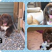 Adopt A Pet :: Koda - DOVER, OH