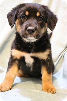 German Shepherd Dog/Labrador Retriever Mix Puppy for adoption in Bedminster, New Jersey - Rumba