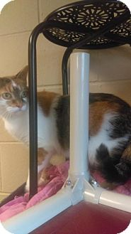 Domestic Shorthair Cat for adoption in South Haven, Michigan - Katie