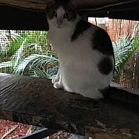 Adopt A Pet :: Popcorn - Lauderhill, FL