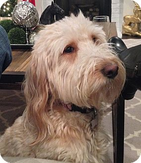 Goldendoodle Dog for adoption in Columbia, Tennessee - Penny