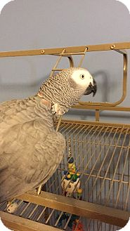 African Grey for adoption in St. Louis, Missouri - MacDaddy