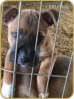 Shar Pei/Shepherd (Unknown Type) Mix Puppy for adoption in DeForest, Wisconsin - Brutus